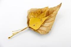 Hojas de otoño amarillas Fotos de archivo libres de regalías