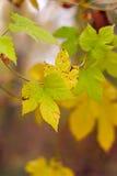Hojas de otoño amarillas Imágenes de archivo libres de regalías