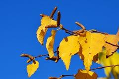 Hojas de otoño amarillas brillantes y vainas erigidas de la semilla del abedul negro asiático Betula Dahurica Imagenes de archivo