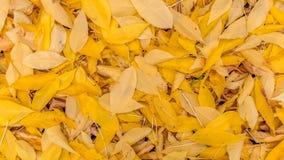 Hojas de otoño amarillas caidas Fondo, textura El ciclo de vida de la naturaleza Fotografía de archivo libre de regalías