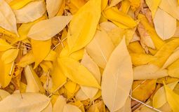 Hojas de otoño amarillas caidas Fondo, textura El ciclo de vida de la naturaleza Foto de archivo libre de regalías