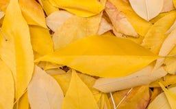 Hojas de otoño amarillas caidas Fondo, textura El ciclo de vida de la naturaleza Imagen de archivo