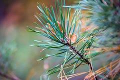 Hojas de otoño amarillas de un roble y de una rama de un pino Fotografía de archivo