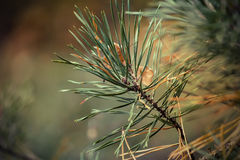 Hojas de otoño amarillas de un roble y de una rama de un pino Fotos de archivo