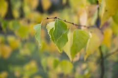 Hojas de otoño amarillas del árbol de abedul Foto de archivo libre de regalías
