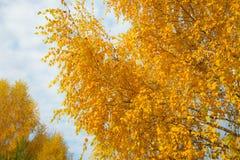 Hojas de otoño amarillas en fondo del cielo nublado azul La vista inferior del árbol del oro remata en buen tiempo soleado Foto de archivo