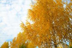 Hojas de otoño amarillas en fondo del cielo nublado azul La vista inferior del árbol del oro remata en buen tiempo soleado Imágenes de archivo libres de regalías