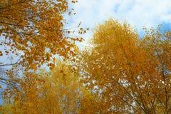 Hojas de otoño amarillas en fondo del cielo nublado azul La vista inferior del árbol del oro remata en buen tiempo soleado Fotografía de archivo libre de regalías