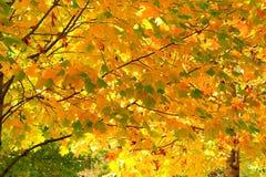 Hojas de otoño amarillas en un árbol de Sakura Imagen de archivo