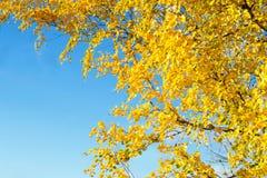 Hojas de otoño amarillas de oro del abedul en un fondo del cielo azul Fotografía de archivo