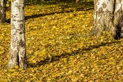 Hojas de otoño amarillas de un abedul en un árbol Colores brillantes del otoño Fotografía de archivo libre de regalías