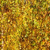 Hojas de otoño amarillas, verdes y anaranjadas Foto de archivo