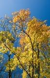 Hojas de otoño amarillas y cielo azul Imagen de archivo libre de regalías