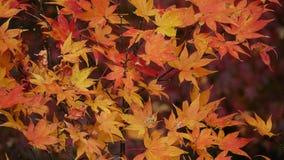 Hojas de otoño amarillas y rojas foto de archivo libre de regalías