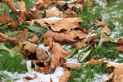 Hojas de otoño amarillas y verdes en la hierba sitiada por la nieve Fotos de archivo