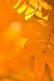 Hojas de otoño anaranjadas Imagen de archivo libre de regalías