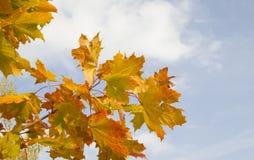 Hojas de otoño anaranjadas en fondo del cielo azul Fotografía de archivo