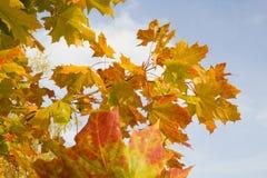 Hojas de otoño anaranjadas en fondo del cielo azul Imagenes de archivo