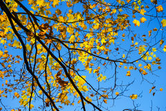 Hojas de otoño anaranjadas y molde amarillo contra un cielo azul Foto de archivo libre de regalías