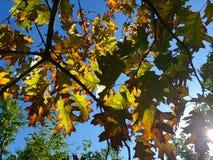 Hojas de otoño asoleadas Foto de archivo libre de regalías