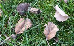 Hojas de otoño asombrosas en la hierba Imagen de archivo