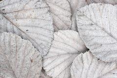 Hojas de otoño blancas Imagen de archivo