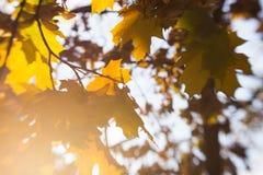 Hojas de otoño borrosas en el sol, fondo abstracto, bokeh, siendo autor del proceso, foco selectivo Fotografía de archivo libre de regalías