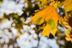 Hojas de otoño borrosas en el sol, fondo abstracto, bokeh, siendo autor del proceso, foco selectivo Imagen de archivo
