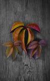 Hojas de otoño brillantes en la madera negra Imagen de archivo libre de regalías