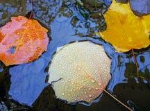 Hojas de otoño caidas coloridas con los descensos del agua que mienten en un charco Foto de archivo