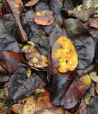 Hojas de otoño caidas coloridas que mienten en la tierra Fotografía de archivo