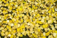 Hojas de otoño caidas de la cal Imagen de archivo libre de regalías
