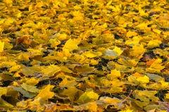Hojas de otoño caidas en hierba Imágenes de archivo libres de regalías
