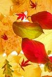 Hojas de otoño clasificadas Foto de archivo