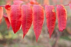 Hojas de otoño coloridas, Canadá Fotografía de archivo