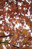 Hojas de otoño coloridas en árbol Fotos de archivo