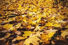 Hojas de otoño coloridas en Finlandia fotografía de archivo