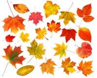 Hojas de otoño coloridas hermosas de la colección aisladas en blanco Imagen de archivo