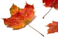 Hojas de otoño con descensos del agua aisladas en el fondo blanco imágenes de archivo libres de regalías