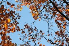 Hojas de otoño con el cielo azul Imagenes de archivo