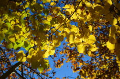 Hojas de otoño con el cielo azul detrás Fotos de archivo libres de regalías