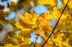 Hojas de otoño con el fondo del cielo azul Fotos de archivo libres de regalías
