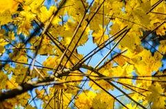 Hojas de otoño con el fondo del cielo azul Foto de archivo