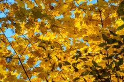 Hojas de otoño con el fondo del cielo azul Fotografía de archivo