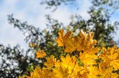 Hojas de otoño con el fondo del cielo azul Imagenes de archivo