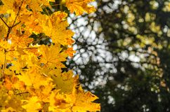 Hojas de otoño con el fondo del cielo azul Fotos de archivo