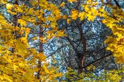 Hojas de otoño con el fondo del cielo azul Imágenes de archivo libres de regalías