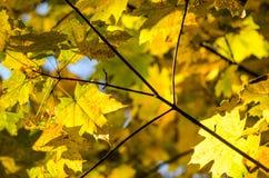 Hojas de otoño con el fondo del cielo azul Fotografía de archivo libre de regalías