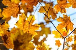 Hojas de otoño con el fondo del cielo azul Foto de archivo libre de regalías