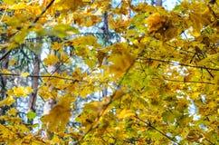 Hojas de otoño con el fondo del cielo azul Imagen de archivo libre de regalías